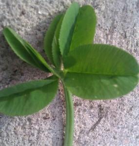 five leaf cloer