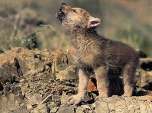 Wolf-cub-howling-animal-cubs-28137453-1024-768